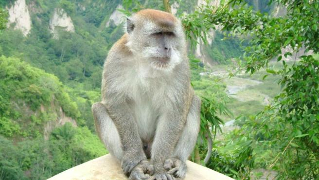 Macaco cangrejero.
