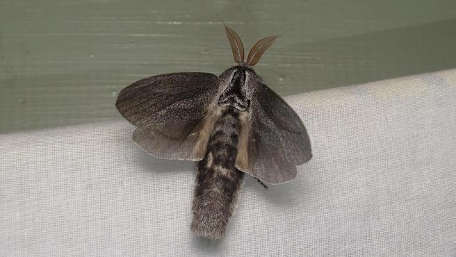 Imagen de archivo de una polilla 'Endoxyla cinereus'.