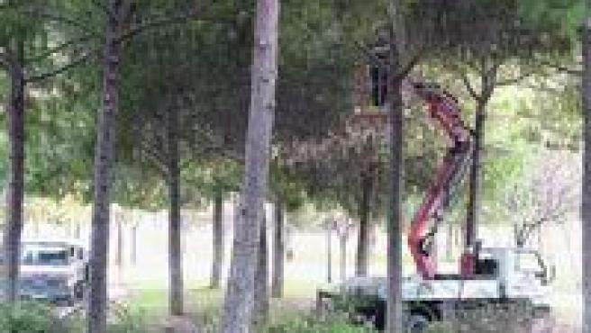 Funcionarios del Ayuntamiento de Valencia se convirtieron ayer en peluqueros de árboles. Un equipó de técnicos se encargó de podar los que están en el cauce del río Turia a la altura del paseo de la Petxina. Con la ayuda de varias grúas elevadoras se alzaron hasta las copas de los pinos para realizar su trabajo de poda más cómodamente.