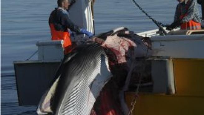 "Ballena Minke cazada en Islandia dentro del programa de ""caza científica"". Foto: Greenpeace/N. Cobbing"