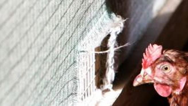 Un pollo alemán en su jaula (Efe).