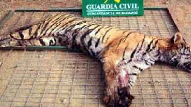 Uno de los tigres muertos en la cacería ilegal (EFE)