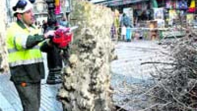 Trabajos de poda de árboles realizados recientemente por Parcs i Jardins en la Rambla.