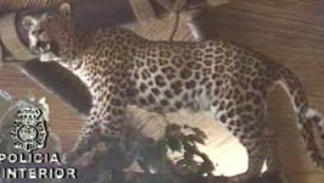 Leopardo disecado en la casa de Roca.