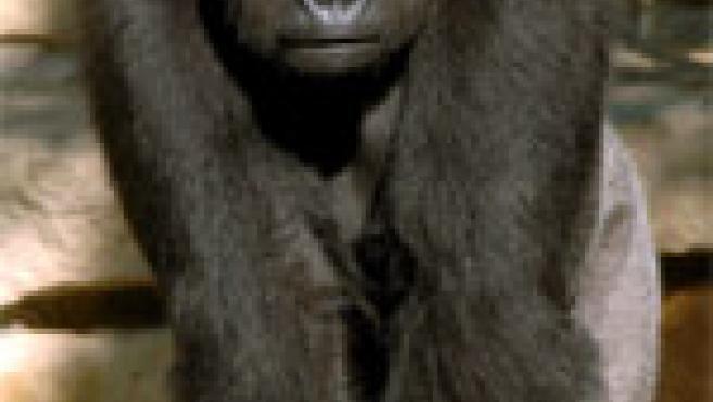 El gorila macho Ivo en el zoo de Berlín. (Archivo)