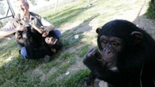 La pequeña Manuela (en primer plano) y Lili, con su amigo Pedro Pozas, del Proyecto Gran Simio, en el Centro Rainfer, el único santuario de primates -privado- de España. La avaricia de las redes de traficantes de animales obliga a 20 minutos a no revelar su ubicación.