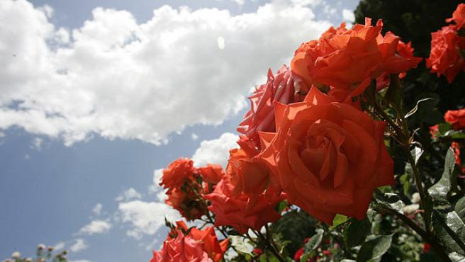 Premio popular. Este rosal, que llevaba el número 29, ha sido el más votado por los madrileños que acudieron durante el miércoles día 24 al parque del Retiro.