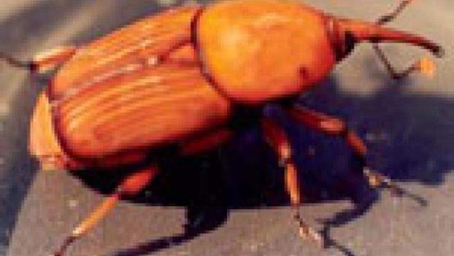 Picudo rojo (Rynchophorus ferrugineus)