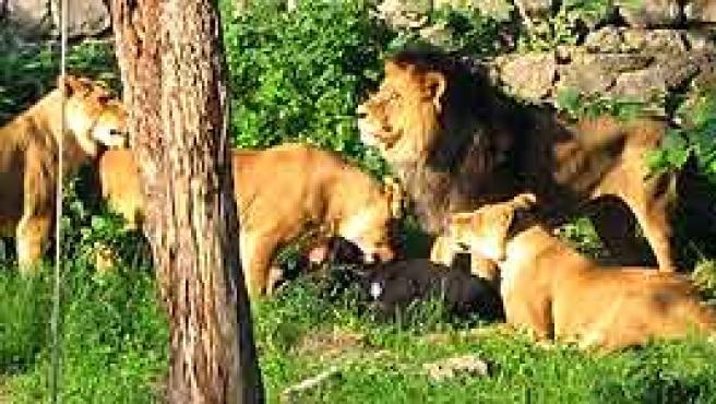 Un hombre es devorado por los leones en Kiev. (Ver imagen ampliada)