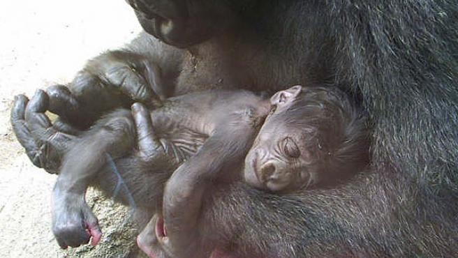 La cría en brazos de su madre, Gorka (Zoo Acuarium)