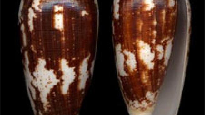 Dos ejemplares del 'Conus Magus'.
