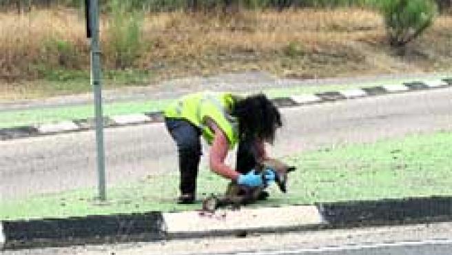 Un zorro murió el miércoles atropellado en el cruce de la M-501 con la carretera de Villanueva de Perales(Sierra Oeste).