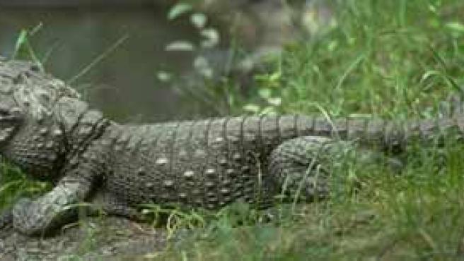 Un ejemplar de cocodrilo enano africano