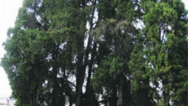 El ciprés del cementerio de la Salud es, con sus 32,5 metros, el más alto de toda Córdoba (Juan Manuel Vacas)