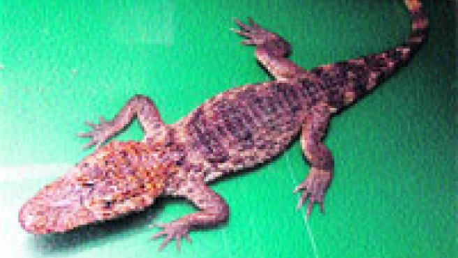 El caimán encontrado en Collserola. (Manuel Hidalgo / Acn)