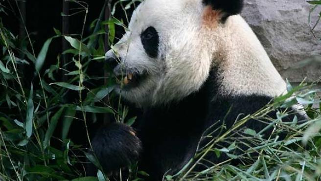Éste es Gu Gu, el panda gigante protagonista del suceso. (Reuters)