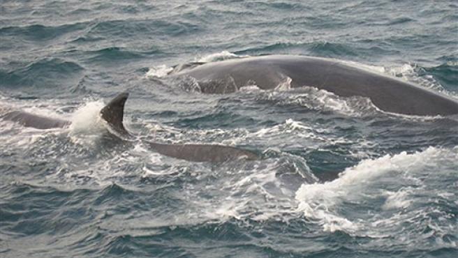 Dos de los cuatro ejemplares adultos de ballena rorcual, avistados a una milla marina de la playa de El Saler (Valencia). (20Minutos)