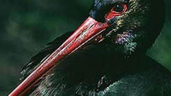 Ejemplar de cigüeña negra. (vertebradosibericos.org)