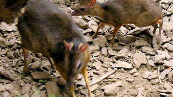Imagen de la cria de ciervo ratón que ha nacido en el zoo de Fuengirola (Efe)