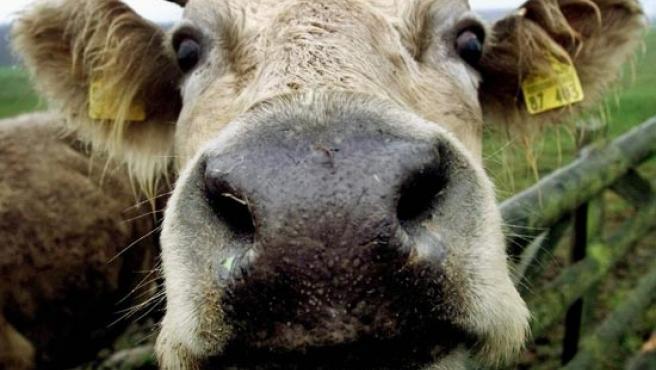 Una vaca mirando a la cámara en el norte de Alemania. (Michael Probst/STR/AP)