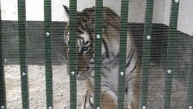 La tigresa encerrada en la jaula (EFE)