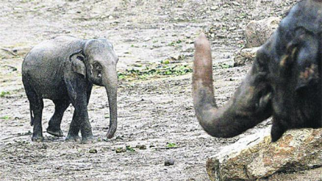 La pequeña elefanta Petita (izda.) no responde a los cánones de belleza de su especie y vive apartada.
