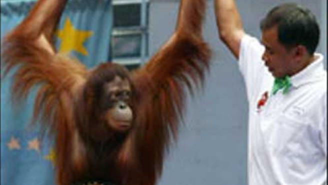 Los orangutanes boxeadores recuperan su libertad. (BBC)