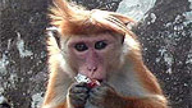 Los macacos son los primates más usados en estos experimentos.