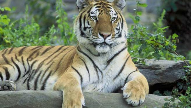 Ejemplar de tigre siberiano (Wikipedia)
