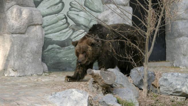 La osa ibérica del Zoo de Córdoba es la más longeva de Europa al cumplir 41 años, unos 120 años en humanos.