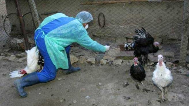 Tres pavos tratan de escapar de las manos de un veterinario rumano que captura aves que pueden estar infectadas (Archivo)