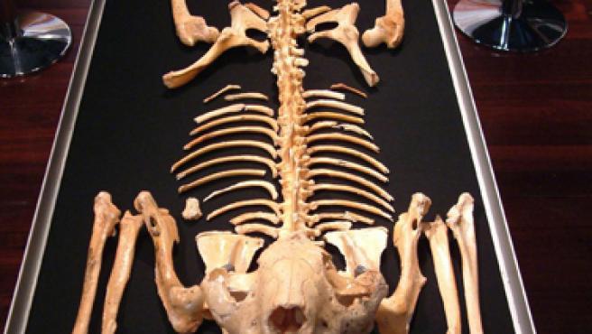 """Primer esqueleto completo del león marsupial """"Thylacoleo carnifex"""" hallado en el interior de una cueva bajo el desierto de Nullarbor."""
