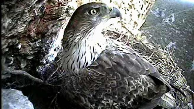 Águila perdicera cuyo nido puede verse a traves de una webcam.