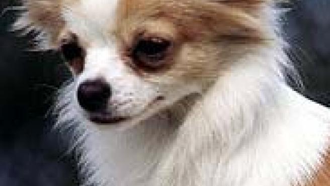 Un perro chihuahua como el que sobrevivió en un congelador de Los Ángeles