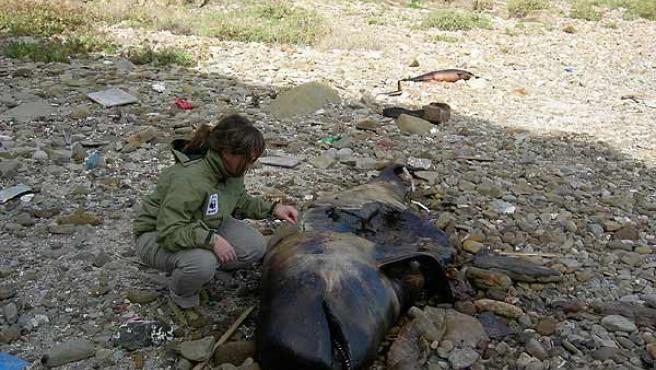 Ballena piloto encontrada muerta en el Estrecho de Gibraltar. (WWF Adena / Pilar Marcos)
