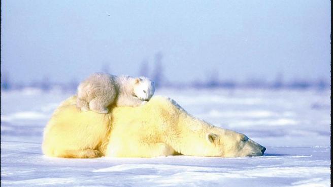 Un oso polar y su cría se echan una siesta en el Ártico.