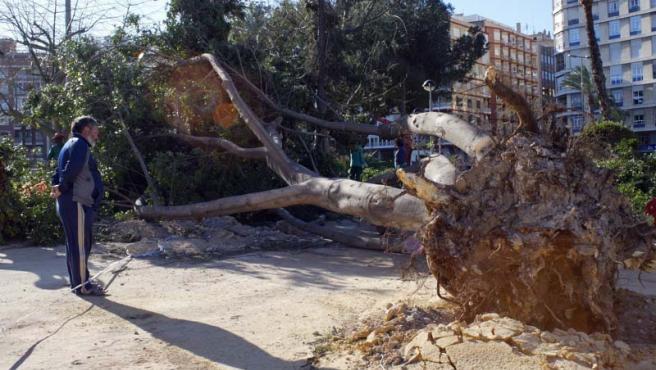 El temporal de viento que sufre la región de Murcia ha provocado el arranque de varios árboles en la plaza circular de la capital.