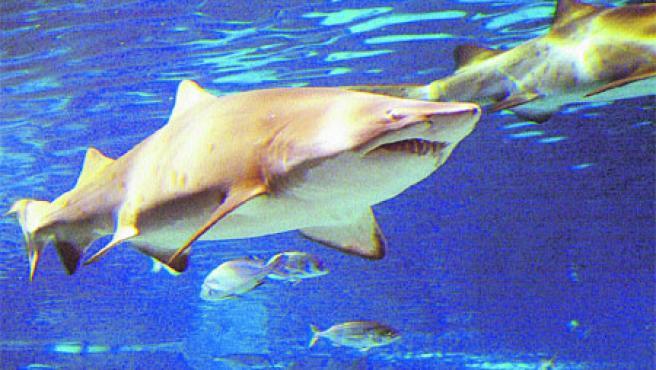 Una actividad infantil llamada Un matí pel fons del mar para que los niños de entre 8 y 12 años descubran a los tiburones. (Aquàrium de BCN)