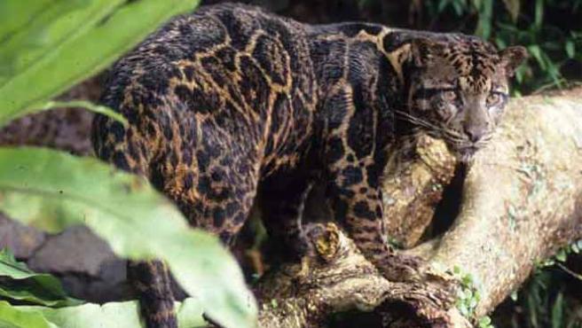 Pantera nebulosa de Borneo. (EFE)