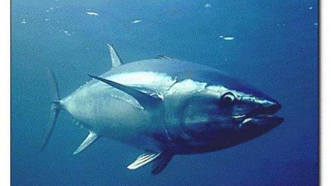 Ejemplar de atún rojo. (ARCHIVO)