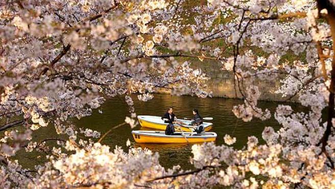 Cerezos en flor. Florecimiento de los cerezos en el lago del palacio imperial de Tokio. Conocido como sakura, el florecimiento de los cerezos es un hito en el calendario japonés, marca el final del invierno y simboliza la fragilidad de la existencia humana, además de suponer una buena fuente de ingresos para el sector turístico.