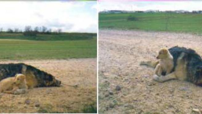 El cachorro permanece junto a su madre, a pesar de que hace horas que ella ha muerto.