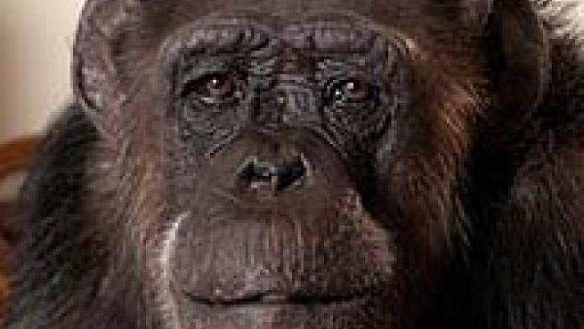 Chita. (C.H.E.E.T.A Primate Sanctuary)