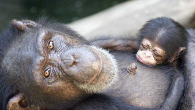 Los chimpancés se parecen mucho a nuestros ancestros.