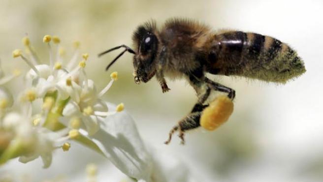 El 70% de las abejas expuestas a radiación no son capaces de volver a la colmena.