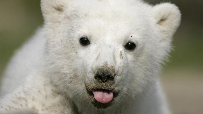 Knut, feliz y ajeno a los anónimos que le dirigen (Foto: Reuters)