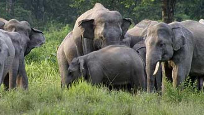Un grupo de elefantes en el Parque Nacional de Goruma, a 100 kilómetros de la población del noreste indio de Siliguri.