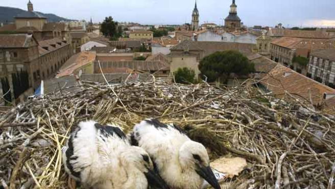 Dos cigüeñas en su nido, en el casco antiguo de Alcalá. (C. CICONIA)
