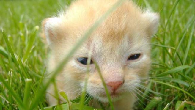Un gatito. (Foto: Wikipedia)