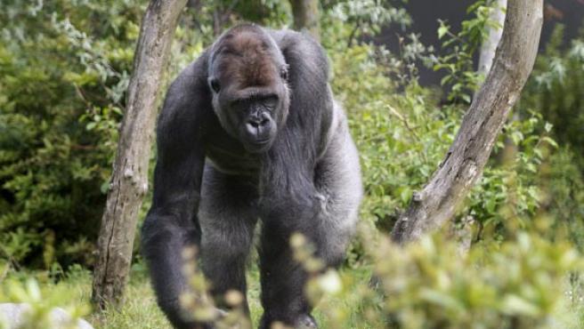 El gorila, Bokito paseando a sus anchas por el zoológico de blijdorp. (Foto:EFE)